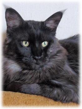Hodowla Kotów Maine Coon I Syberyjskich Nem Złoty Sen